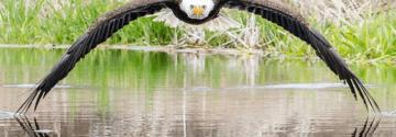 """""""Dit maak je maar één keer mee"""" Fotograaf maakt zeer zeldzame foto's van een zeearend."""