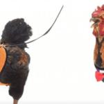 Hip voor je huiskip: Vanaf nu kan je met deze tuigjes je kippen uitlaten